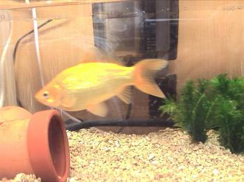 夜店の金魚