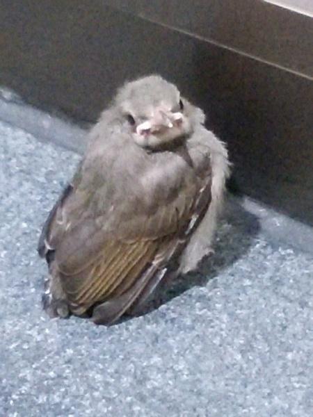 大阪駅の弱ったスズメ